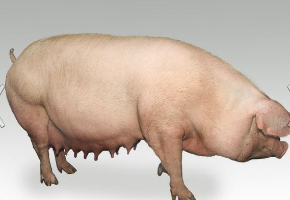 Заказать Большая Белая чистопородная порода свиней