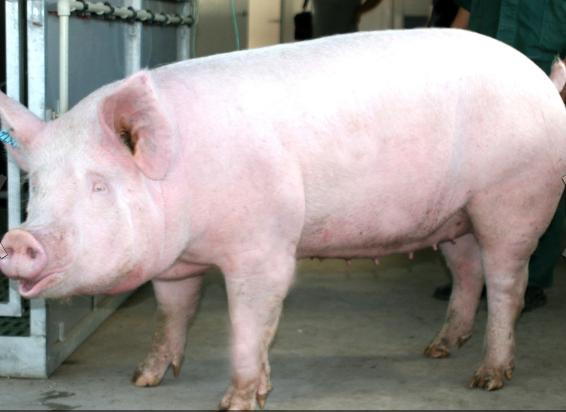 Заказать Селекция свиней