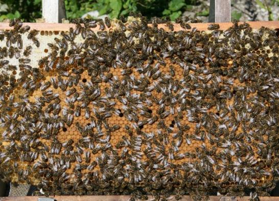 Заказать Реализуем пчелосемьи высокопродуктивных помесных линий серой лесной и кавказской пород