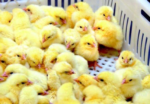 Заказать Услуги инкубации птиц