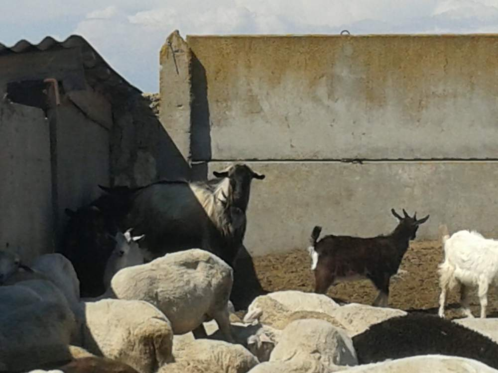 Заказать Разведение коз.