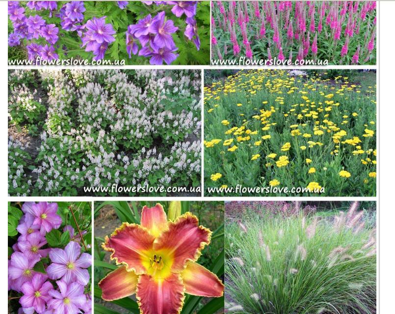 Цветы от производителя. Питомник  многолетних цветов для сада, декоративных трав и пряных растений.