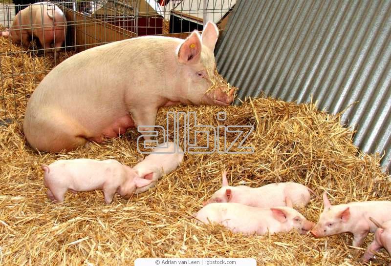Выращивание товарных свиней  Разведение свиней Реализации поросят на откорм по Украине