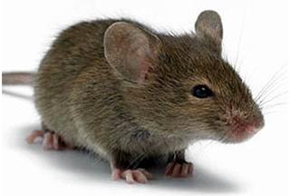 Дератизация. Борьба с крысами в производственных и складских помещениях.