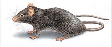 Дератизация. Уничтожение крыс, мышей, грызунов
