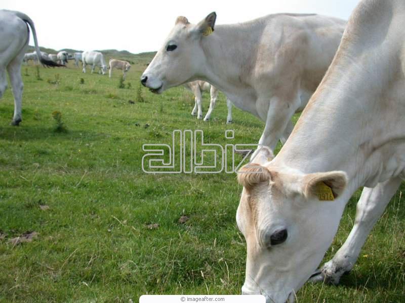 Заказать Разведение крупного рогатого скота
