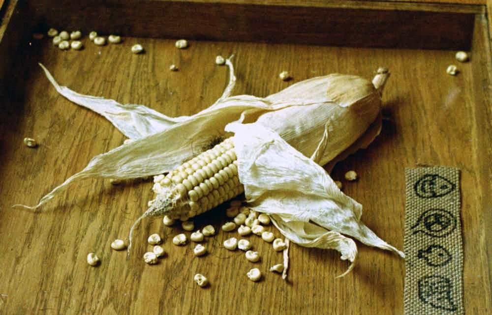 Заготівля, сушіння, зберігання, калібрування й відпустка гібридної кукурудзи