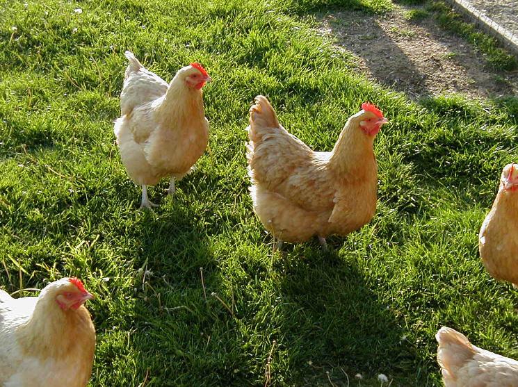 Заказать Выращивание кур. Продажа оптом и в розницу.