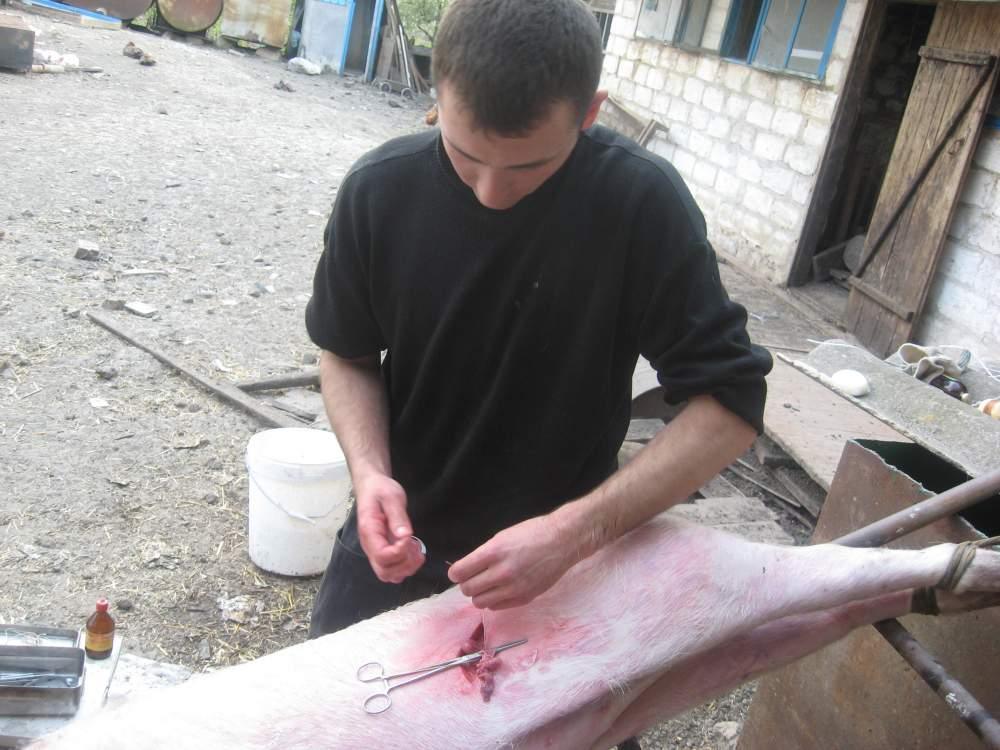 Заказать Послуги кастрації свинок