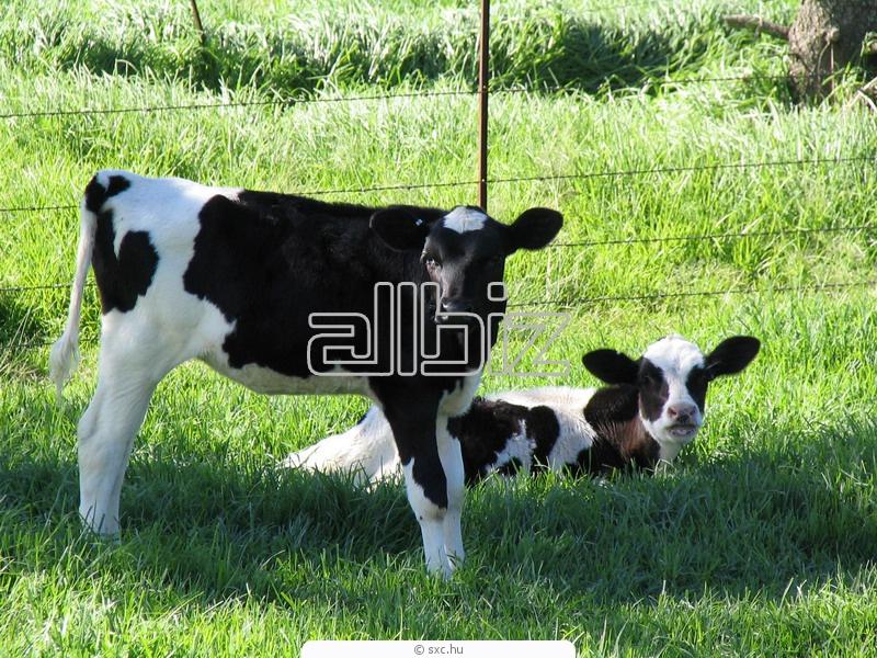 Заказать Оказываем услуги по осеменению крупного рогатого скота, в Украине