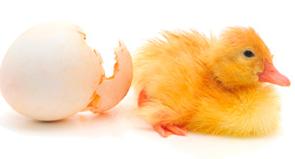 Заказать Инкубация яиц сельскохозяйственной птицы