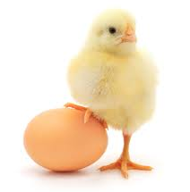 Заказать Утка, цыплята, цыплята бройлерные