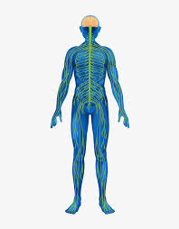 Заказать Нервная система