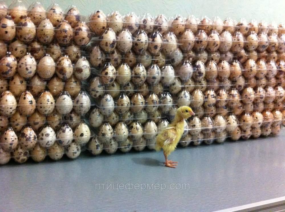 Заказать Яйцо Инкубационное Породы Белый Техаский Перепел