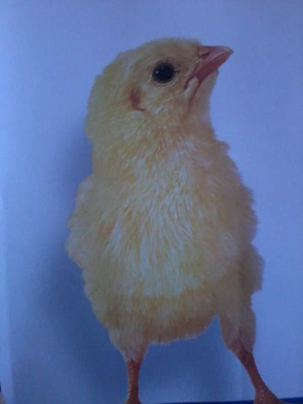 Заказать Реализация суточных цыплят бройлеров