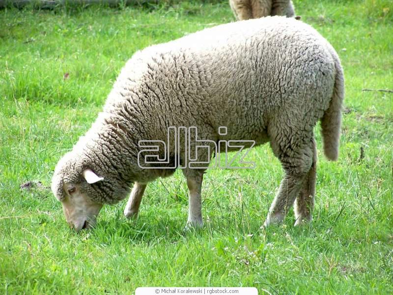 Заказать Разведение овец племенных