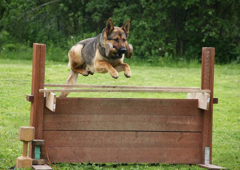 Заказать Дрессировка собак, школа дрессировки собак, дрессировка служебных собак, дрессировка собак овчарок