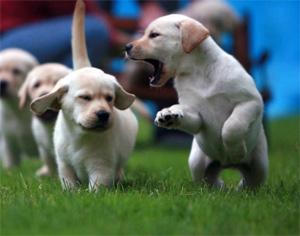 Заказать Дрессировка щенка, дрессировка щенка овчарки, дрессировка щенка немецкой овчарки, воспитание и дрессировка щенка