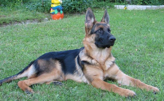 Заказать Питомники собак, купить собаку, немецкая овчарка купить, питомник овчарок, питомник немецких овчарок