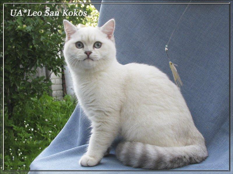 Заказать Разведение британских кошек драгоценных окрасов