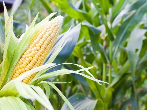 Заказать Услуги по уборке кукурузы комбайном