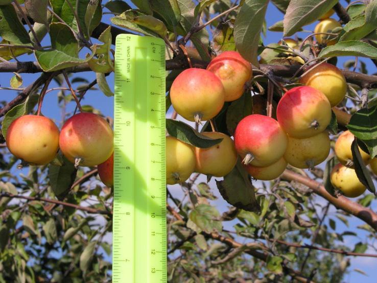 Принимаем яблоки здоровые и нестандартные для переработки от населения и из хранилищ