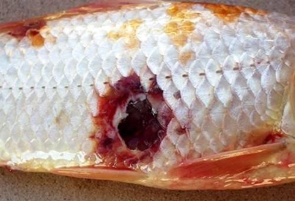 Заказать Лечение рыб в аквариуме или в пруду