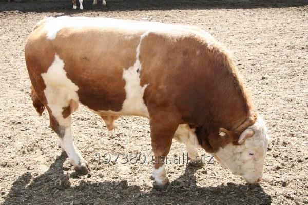 Заказать  Крупный рогатый скот