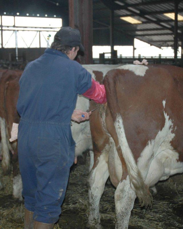 Заказать Искусственное осеменение коров и телок