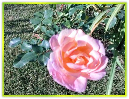 Заказать Розы