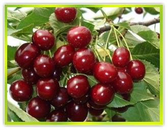Заказать Плодовые деревья