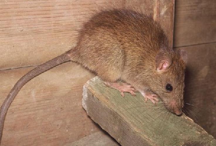 Заказать Борьба с крысами