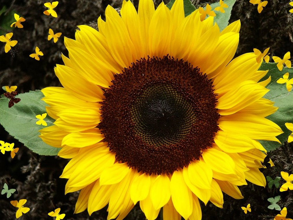 Purchase of seeds of sunflower