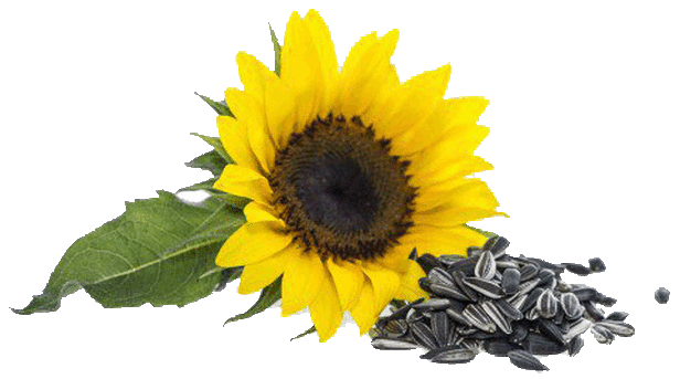 Services of processing of sunflower