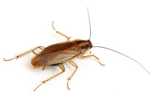Уничтожение тараканов, услуги дезинсекции