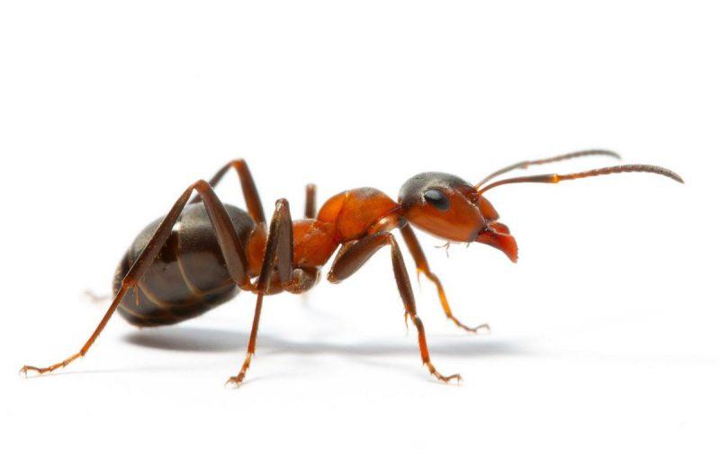 Уничтожение муравьев, услуги дезинсекции