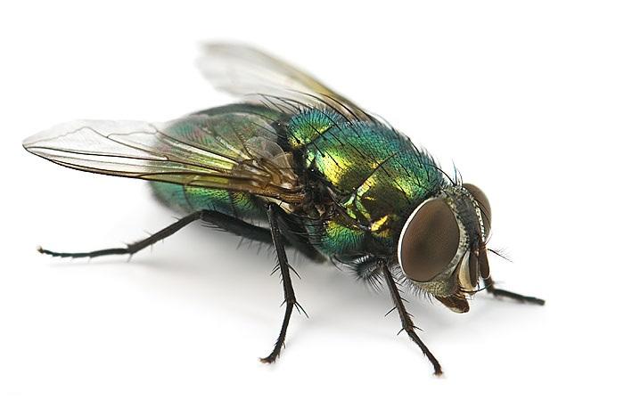 Уничтожение мух, услуги дезинсекции