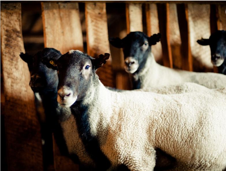 Заказать Романівська - грубововнова порода м'ясо-вовнового напрямку з чорно-сріблястою шерстю та високими біологічними і репродуктивними якостями. М'ясо - делікатесне