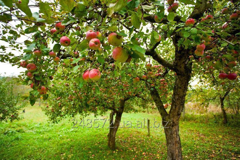 Заказать Обрезка деревьев, восстановление старых садов