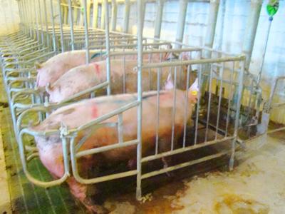 Заказать Станки для индивидуального содержания свиноматок