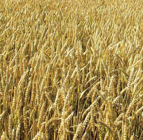 Заказать Переработка пшеницы без стоимости мешкотары
