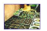 Заказать Выращивание под заказ рассады овощей. В разных кассетных емкостях по 96,160,260. Цены умеренные.