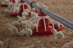 Installation of equipment for floor cultivation of broilers and parental herd