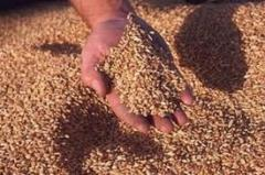 Buckwheat grain processing