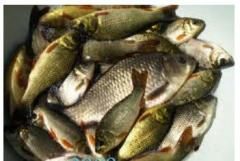 Cultivation of fresh-water fish, fish stock