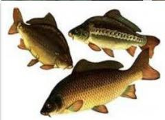 Cultivation of carp