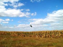 Десикация кукурузы самолетами Ан-2 и Бекас