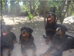 Племенной отбор и подбор собак