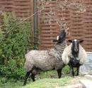 Розведення овець