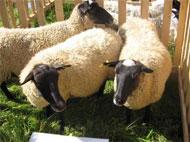 Розведення овець і кіз